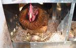 Знакомимся с хорошими несушками – курочками яичного направления – всё о домашней птице