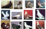 Обзор необыкновенных голубей: рассматриваем распространенные декоративные виды — всё о домашней птице