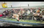 Домашние советы: как правильно содержать кур несушек в клетках — всё о домашней птице