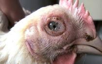 Опасное заболевание кур – хрипы: причины и методы лечения – всё о домашней птице
