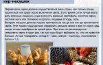 Меню курицы-несушки: подбираем правильный рацион — всё о домашней птице