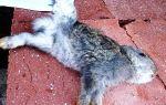 Боремся с кокцидиозом у кроликов — всё о домашней птице