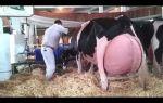 Решили завести корову? узнайте как ее правильно доить – всё о домашней птице