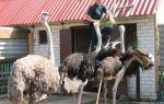 Секреты забоя страусов на ферме – всё о домашней птице