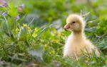 Калькулятор расходов и рецепт комбикорма для гусей (продуктивный период) — всё о домашней птице