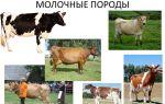 Как выбрать самую хорошую молочную корову? — всё о домашней птице