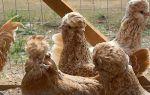 Свинка без жениха: проводим искусственное осеменение – всё о домашней птице