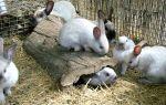Чем болеют кролики: копилка знаний начинающего кроликовода — всё о домашней птице