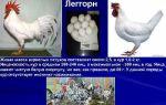 Крупные красавицы для яиц и мяса – знакомимся с породой кур плимутрок – всё о домашней птице