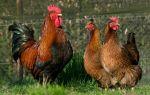 Порода кур на все века: незаменимый вельзумер — всё о домашней птице
