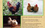 Сколько может прожить курица и что на это влияет? – всё о домашней птице