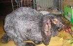 Чумка, глисты, лишай и другие: спасаем кроликов от опасных недугов – всё о домашней птице