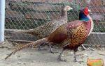 Большие секреты маленького яйца фазана – всё о домашней птице