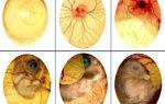 Проверяем яйца овоскопом: особенности процесса — всё о домашней птице