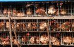 Куриный бизнес: шпаргалка для предприимчивых птицеводов – всё о домашней птице