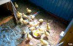 Как правильно вырастить выводок гусят? – всё о домашней птице