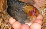 Секреты хорошей яйценоскости курочек — всё о домашней птице