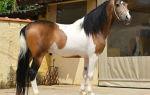 Расписные лошадки: все о пегой масти — всё о домашней птице