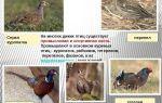 Кролики с оригинальным окрасом и названием — бабочка — всё о домашней птице