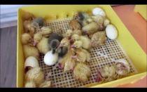 Давайте разберемся, как правильно выводить гусят в инкубаторе – всё о домашней птице