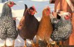 Пятнистые красотки: все о ливенских курочках — всё о домашней птице