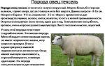 Тексель — одна из лучших мясных пород овец — всё о домашней птице