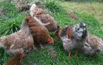 Куры виандот — миниатюрные мясо-яичные любимицы фермеров — всё о домашней птице