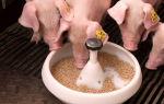 Особенности кормления свиней комбикормом – всё о домашней птице