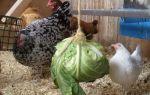 Зелень в рационе маленьких цыплят: на заметку птицеводам — всё о домашней птице