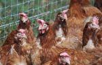 Куры на подворье: советы новичкам-птицеводам – всё о домашней птице