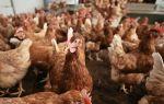 Хайсек браун и вайт — достижение голландской селекции — всё о домашней птице