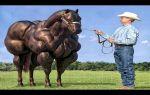 Гиганты конного мира: кто они самые большие лошади? — всё о домашней птице