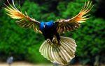 Летает или не летает павлин – вот в чем вопрос! — всё о домашней птице